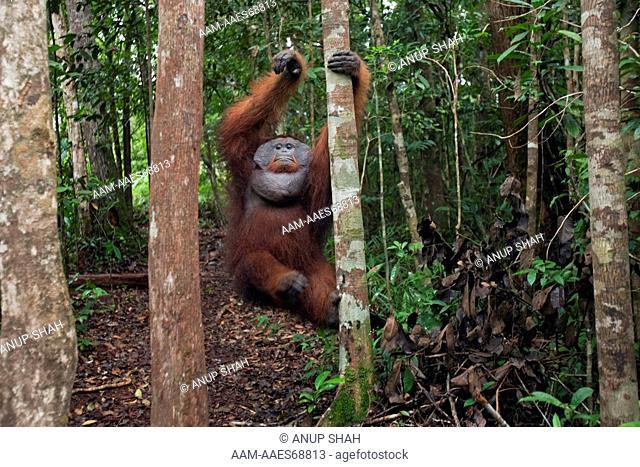 Bornean Orangutan mature male 'Doyok' climbing down from a tree - wide angle perspective (Pongo pygmaeus wurmbii). Pondok Tanggui, Tanjung Puting National Park