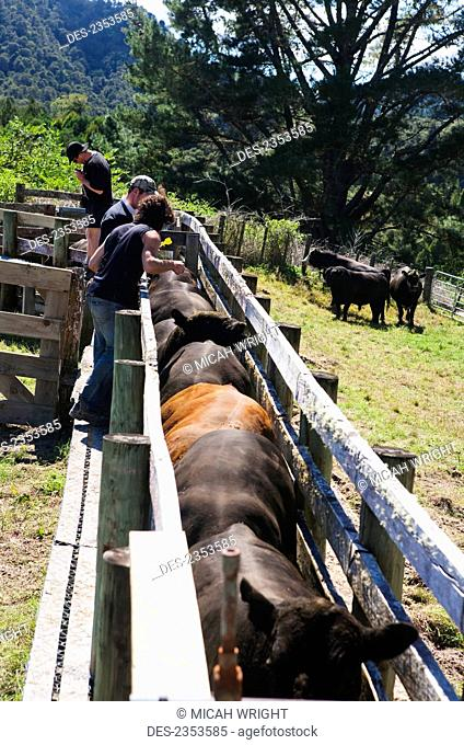 Tourists participate in a cattle muster and tagging the bulls at Blue Duck lodge, a working New Zealand farm located in the Whanganui National park; Whakahoro