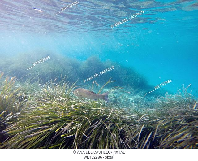 Underwater image at Mediterranean sea Tabarca island Alicante Spain