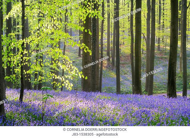 A blooming carpet of Bluebells in beech forest, bluebells Hyacinthoides non-scripta and European beech trees Fagus sylvatica, Hallerbos, Belgium, Europe