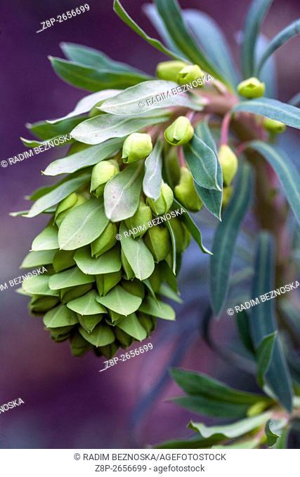 Euphorbia characias subsp. wulfenii, Mediterranean spurge in early spring