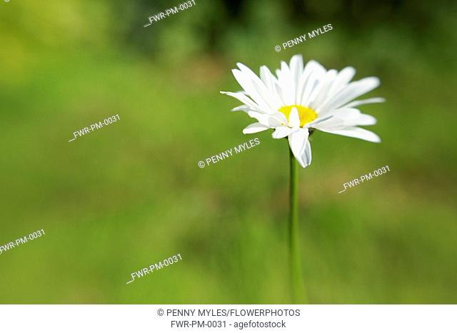 Ox-eye daisy, Leucanthemum vulgare in a soft focus green background