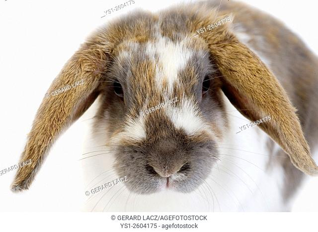 Lop-Eared Domestic Rabbit, Adult against White Background