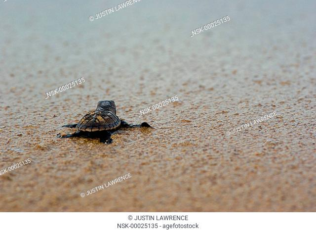 Olive Ridley Sea Turtle (Lepidochelys olivacea) hatchling making its way to the ocean, Panama