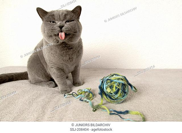 British Shorthair. Kitten sitting next to a ball of wool, sticking out its tongue. Germany