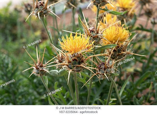 Centaurea kunkelii is an endangered perennial herb endemic to Almeria province, Andalucia, Spain