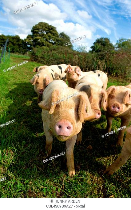 Animal portrait of Gloucester old spot pigs looking at camera, Cherington, Gloucestershire, United Kingdom, Europe