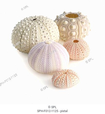 Sea urchin shells