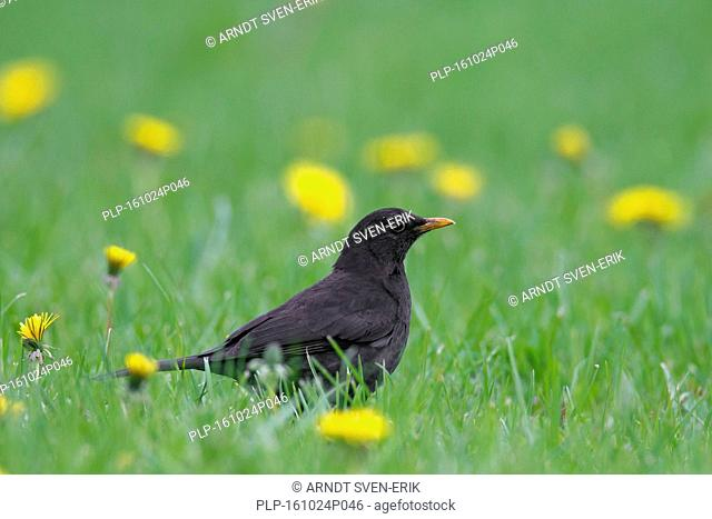 Common blackbird (Turdus merula) male foraging in grassland with wildflowers
