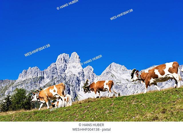 Austria, Salzburg County, Cows on alpine pasture in front of Mount Bischofsmutze