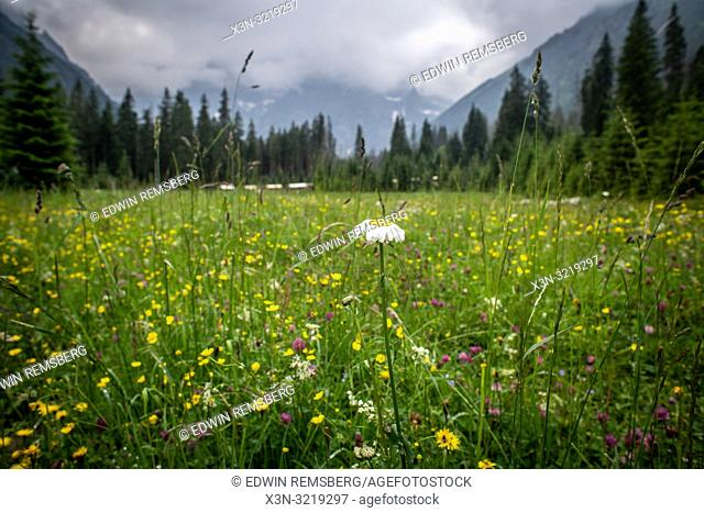 A white flower among a field of flowers in front of the Tatra mountains n the Tatra National Park, Lesser Poland Voivodeship, Poland