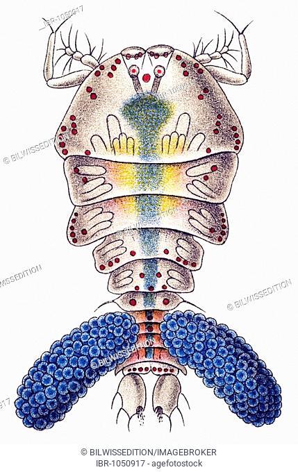 Historic illustration, Copepod (Copepoda), female, tablet 56, Ernst Haeckel, Kunstformen der Natur, Artforms of Nature