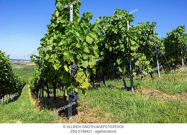 Grapevines in a vineyard near Sulzfeld, Baden-Wurttemberg, Germany