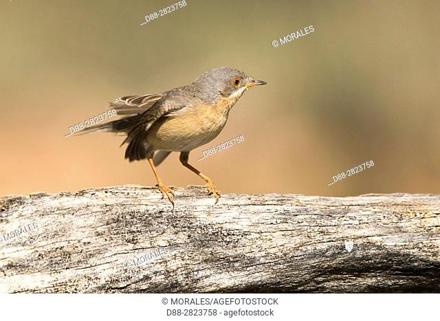 Europe, Spain, Catalonia, Subalpine warbler (Sylvia cantillans), male