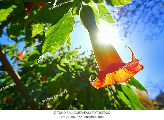 Flower Brugmansia sanguinea Angels trumpets common name