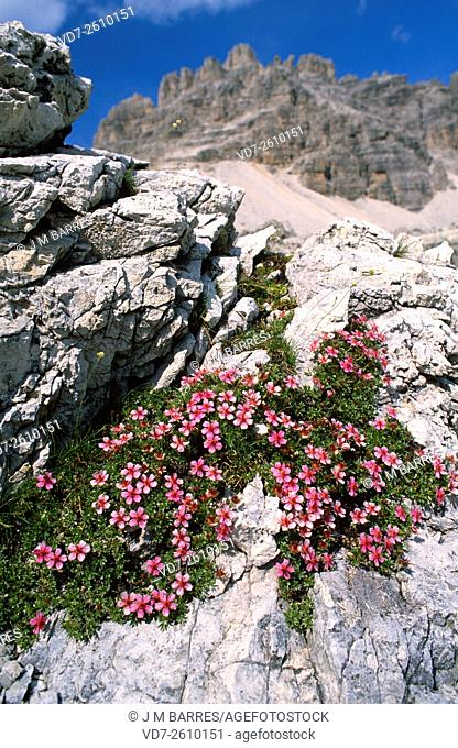 Dolomites cinquefoils (Potentilla nitida) grows above 3,200 m altitude. Is endemic to the Alps and Bosnia mountains. This photo was taken in Tre Cime di...