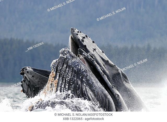 Humpback whales Megaptera novaeangliae co-operatively bubble-net feeding note the blowholes and tubercles in Stephen's Passage, Southeast Alaska