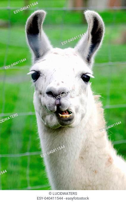 Portrait of a white lama in lamas farm