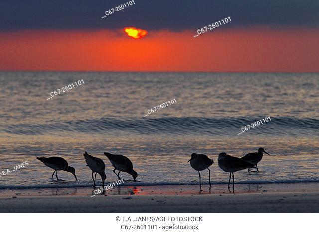 Willets Catoptrophorus semipalmatus feeding at sunset Gulf Coast Florida USA