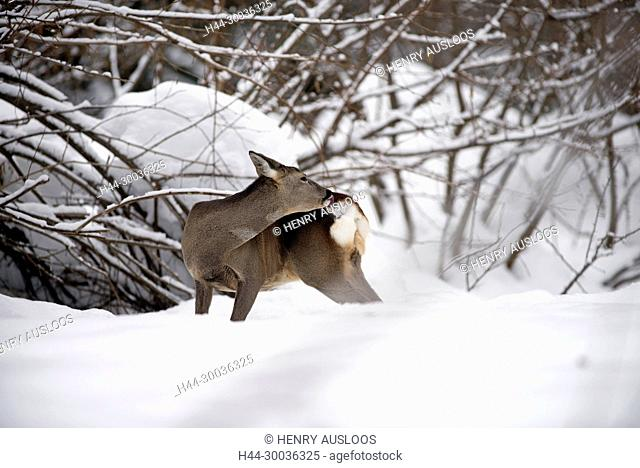 Roe deer in the snow, capreolus capreolus, in velvet, France