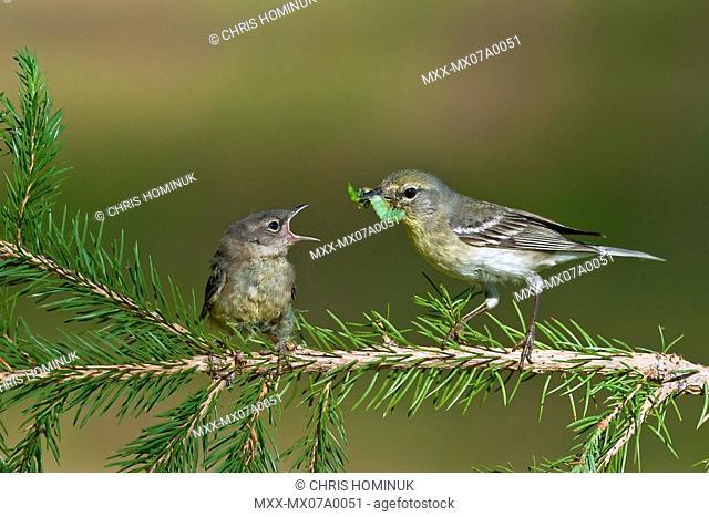 Pine Warblers, Northern Michigan
