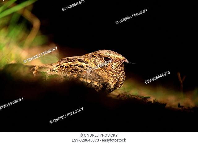 Pauraqu, Nyctidromus albicollis, nocturnal tropic bird
