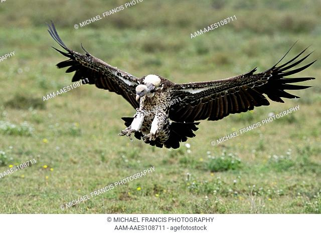 Ruppell's Vulture (Gyps ruppellii), landing portrait with wings spread, Serengeti National Park, Tanzania