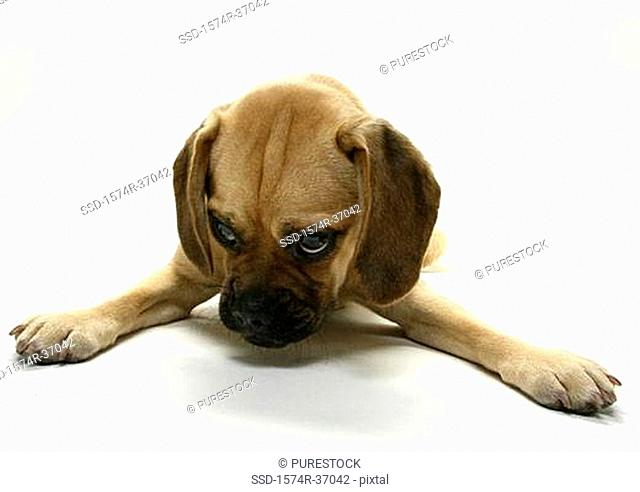 Close-up of a Puggle puppy