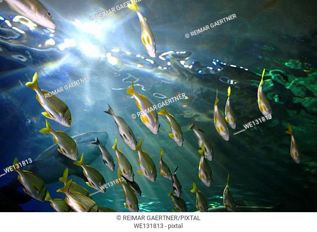Underside of Bigeye Yellow and bluestripe Snapper shoal with Sand Tiger Sharks in an aquarium