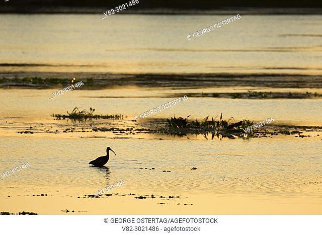 Ibis silhouette, Orlando Wetlands Park, Florida
