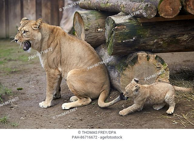 One of the two three-month-old lion cubs pulls at its mother Zari's tail at the zoo in Neuwied, Germany, 21 December 2016