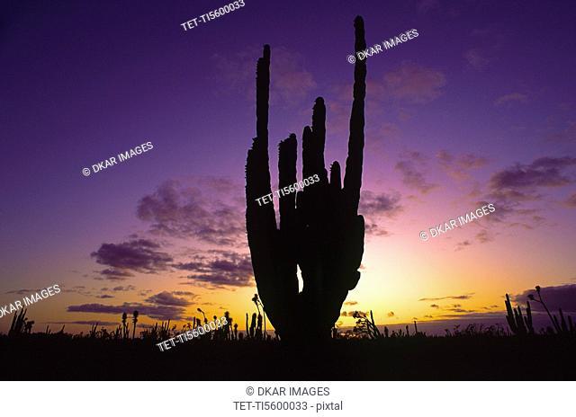 Mexico, Baja California, Cactus at sunset