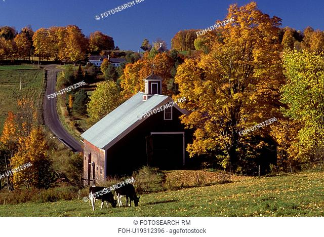Vermont, barn, fall, foliage, Cows grazing in a field near a red barn in the fall in East Montpelier