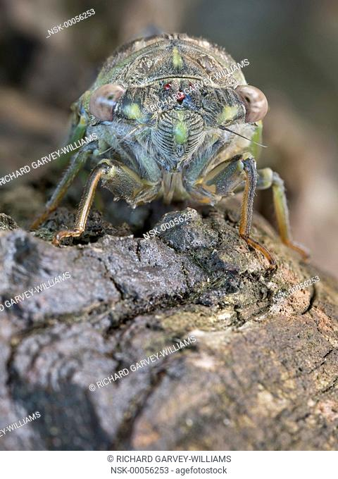 Detailed close-up view of the face of a newly emerged adult Cicada (Tibicen plebejus), Greece, Pelion