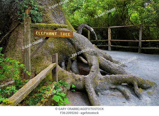 The Elephant Tree, on the Kingdom of the Trees Trail, Trees of Mystery, Del Norte County, California