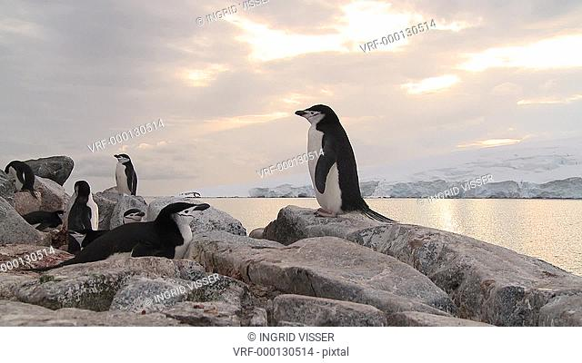 Chinstrap penguins Pygoscelis antarcticus on rock nest. Hydrurga Rocks, Antarctic peninsula