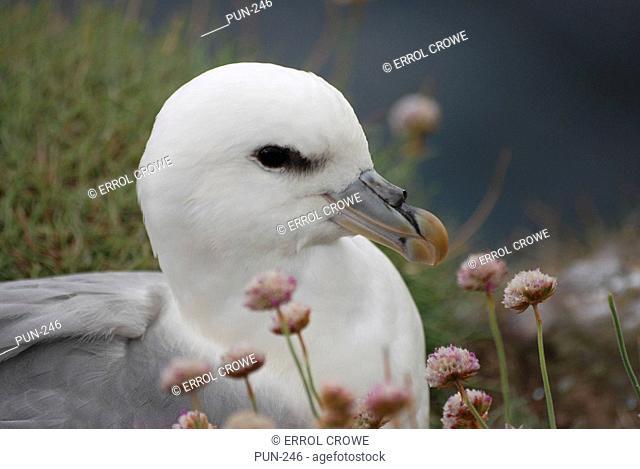 Fulmar Fulmarus glacialis on nest
