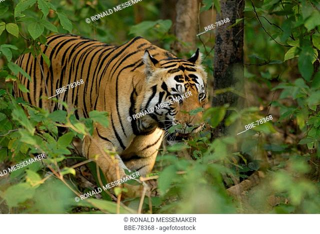 tiger in the Kanha National Park in India