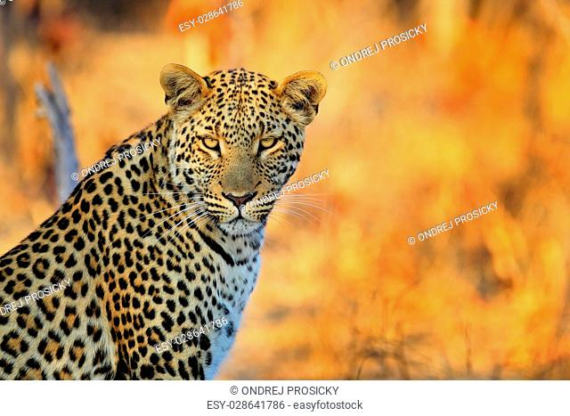 African Leopard, Panthera pardus shortidgei