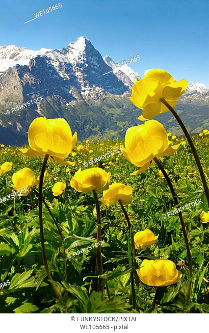 Alpine Globeflower Trollius Europaeus  meadows at 6000ft  2500Mts with the Eiger behind  First, Grindelwald, Bernese alps