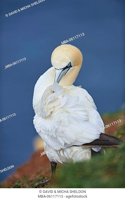 Gannets, Morus bassanus, at the side, meadow, sit, Heligoland