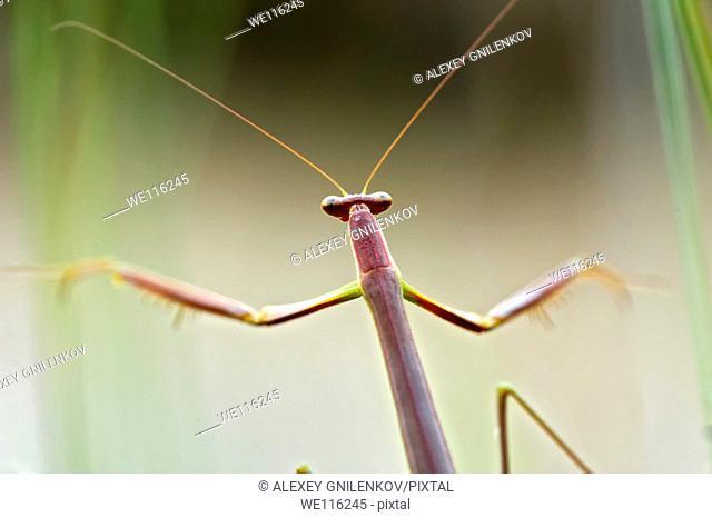 Stick insect, Phasmatodea