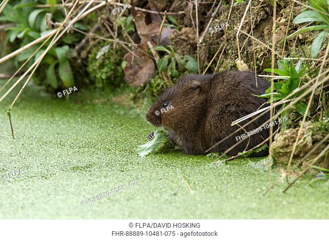 Water Vole eating a leaf in pond covered with duckweed