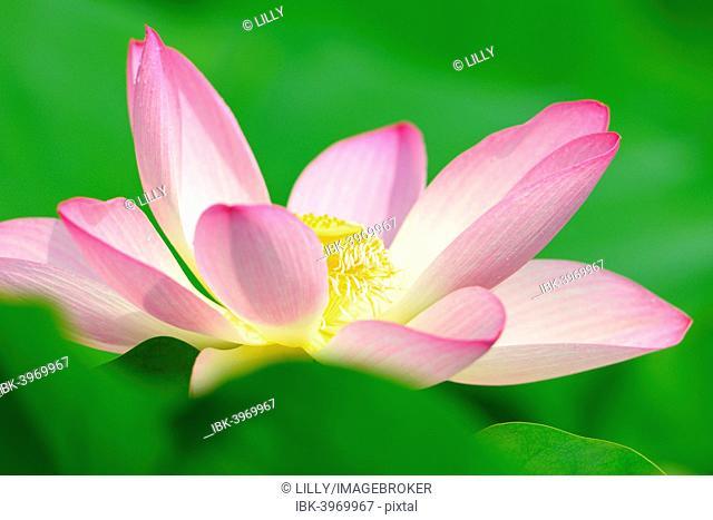 Pink Lotus flower (Nelumbo nucifera), Baden-Württemberg, Germany