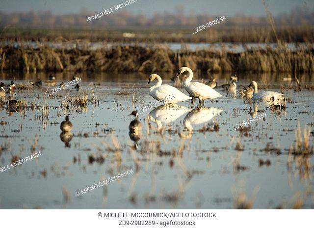 Migratory tundra swans in Northern California