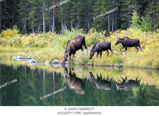 Moose calves and mother, Alces alces, British Columbia, Canada