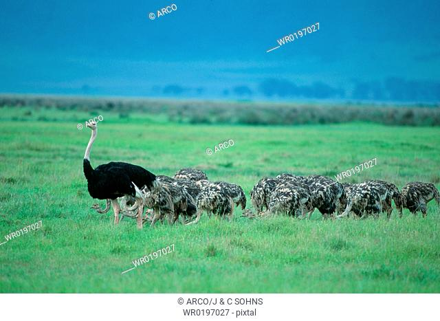 Massai, Ostrichs, male, with, youngs, Ngorongoro, crater, Tanzania, Struthio, camelus, massaicus