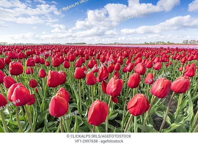 Red tulips and clouds in the sky. Yersekendam, Zeeland province, Netherlands