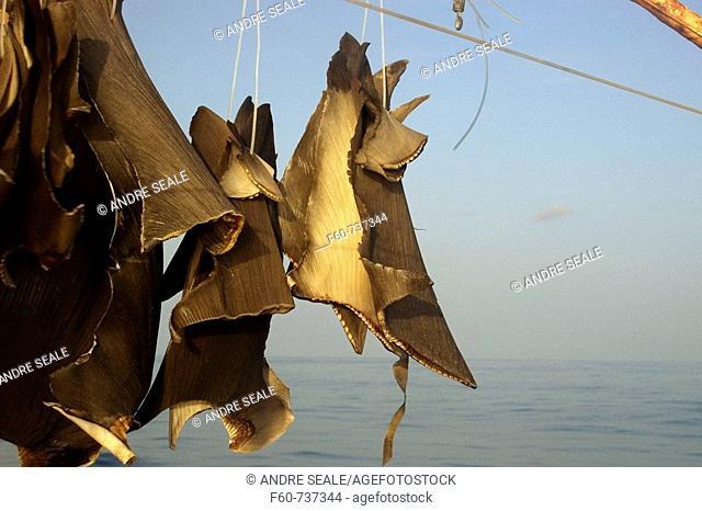 Shark fins sun drying on commercial fishing vessel, Brazil, Atlantic Ocean