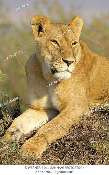 Lioness (Panthera leo), resting on a termite mound. Massai Mara, Kenya